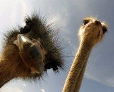 Африканские птицы смотрят в объектив