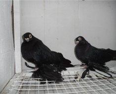 Два Армавирских голубя рядом