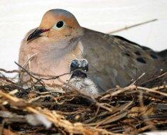 Самка голубя и птенец