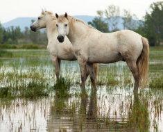 Два коня Камаргу