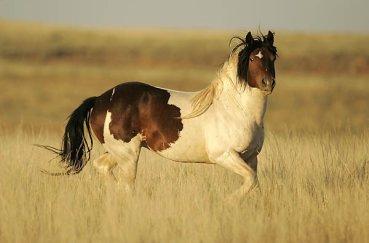 Пегий конь в поле