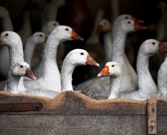 Группа гусей в хозяйстве