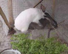 Случка кроликов в домашних условиях