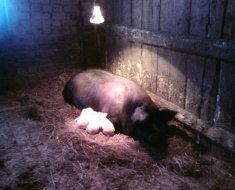 Свиноматка и ее малыши на подстилке