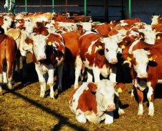 Стадо симментальских коров