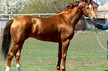 Золотистый конь на выводке