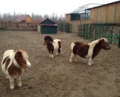 Пятнистые пони