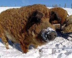 Сибирская белая свинья