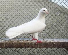 Бакинский голубь на жердочке