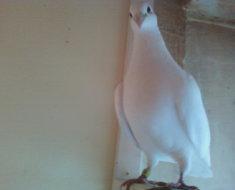 Белый почтовый голубь породы Чех