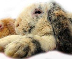 Кролики больные миксоматозом