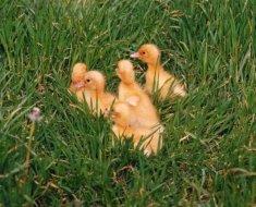 Благоварские утята в траве