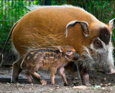 Свиноматка с поросенком