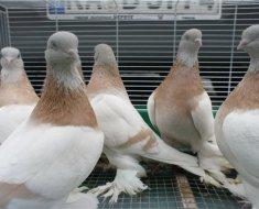 Голуби туркменской разновидности сидят в клетке