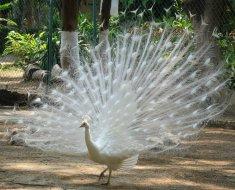 Красивый белый павлин