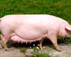 Украинская белая свинья