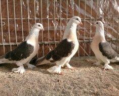 Три голубя Такла