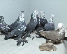 Узбекские голуби сидят вместе