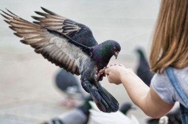 Молодой голубь ест с рук