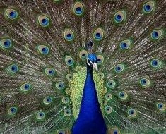 Индийский павлин обычного окраса