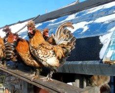 Павловские куры зимой на улице