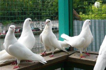 Чистопольские белого цвета