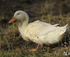 Благоварская утка в траве