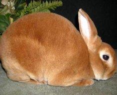 Карликовый кролик рекс в полный рост