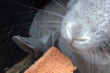 Кролик ест хлеб