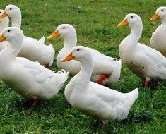 Пекинские утки пасутся летом