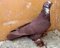 Благодарненский голубь в профиль