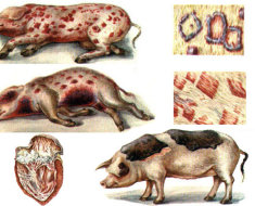 Разные формы рожи свиней