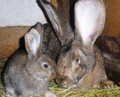 Самка и крольчонок фландры