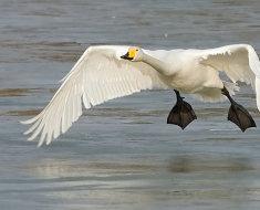 Взлетающий над водой лебедь