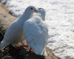 Два белых голубя воркуют