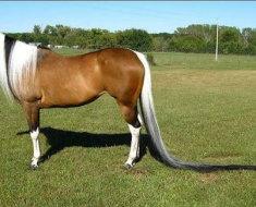 Лошадь с самым длинным хвостом