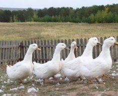 Белые уточки на прогулке