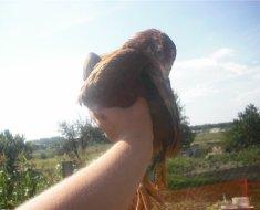 Молодая курица породы Венгерский великан в руке