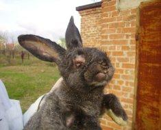 Морда кроля, пораженного миксоматозом