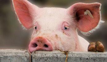 сколько лет поросится свинья