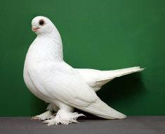 Короткоклювый Узбекский голубь
