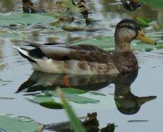 Круговая утка плавает в водоеме