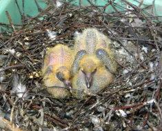 Новорожденные птенцы голубя  в гнезде