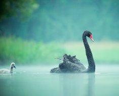 Черный лебедь в тумане