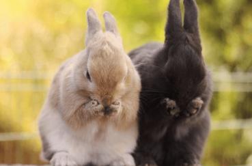 Кролики трут носы