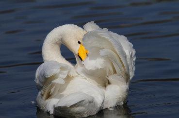 Красивый белый кликун на воде