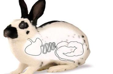 Желудочно-кишечный тракт кролика
