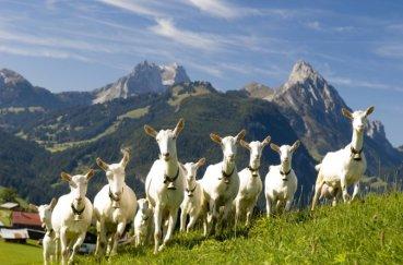 Козы на просторах Альп