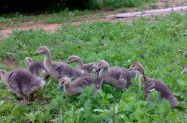 Молодняк гусей в траве