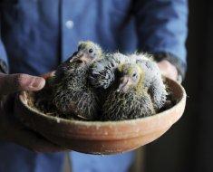 Новорожденные птенцы голубя крупным планом